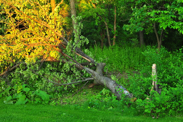 Image for 40' Apple tree fell in the storm.